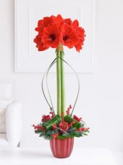 Stylish Amaryllis Arrangement